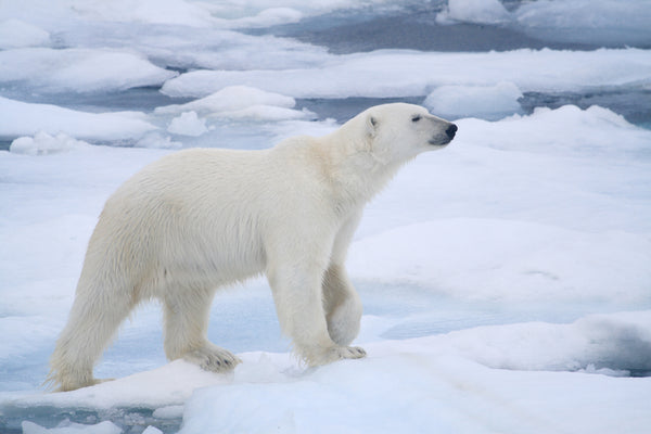Endangered Creature Future: Polar Bear
