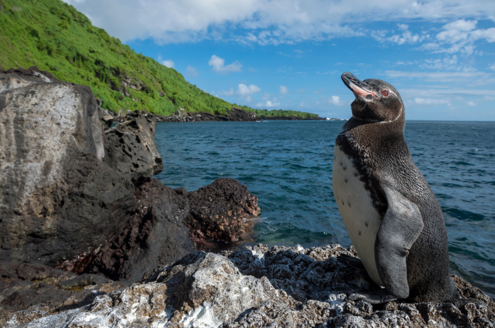 Endangered Creature Feature: The Galápagos Penguin