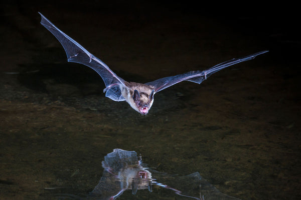 Bat Superpowers: The Unstoppable Hunters of the Night