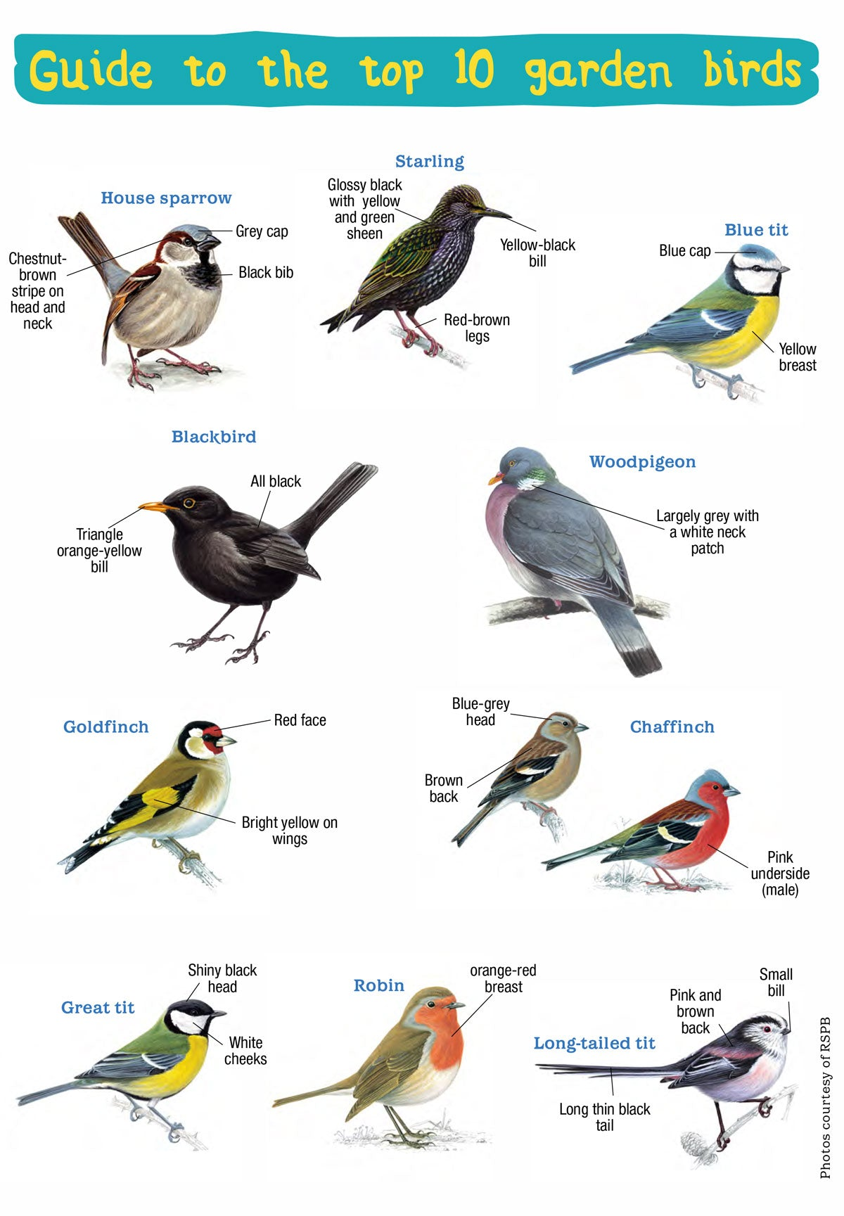 Handy Guide to the UK's Top 10 Garden Birds