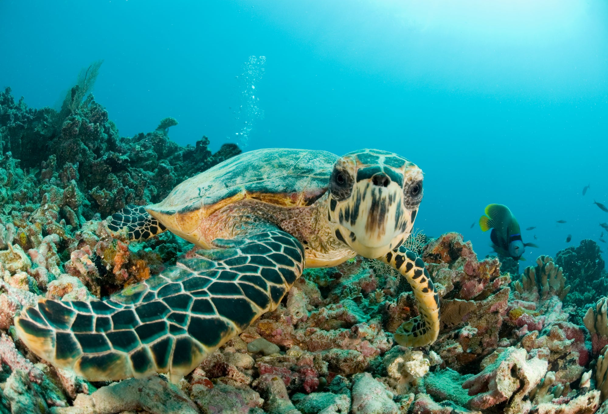 Endangered Creature Feature: The Hawksbill Turtle