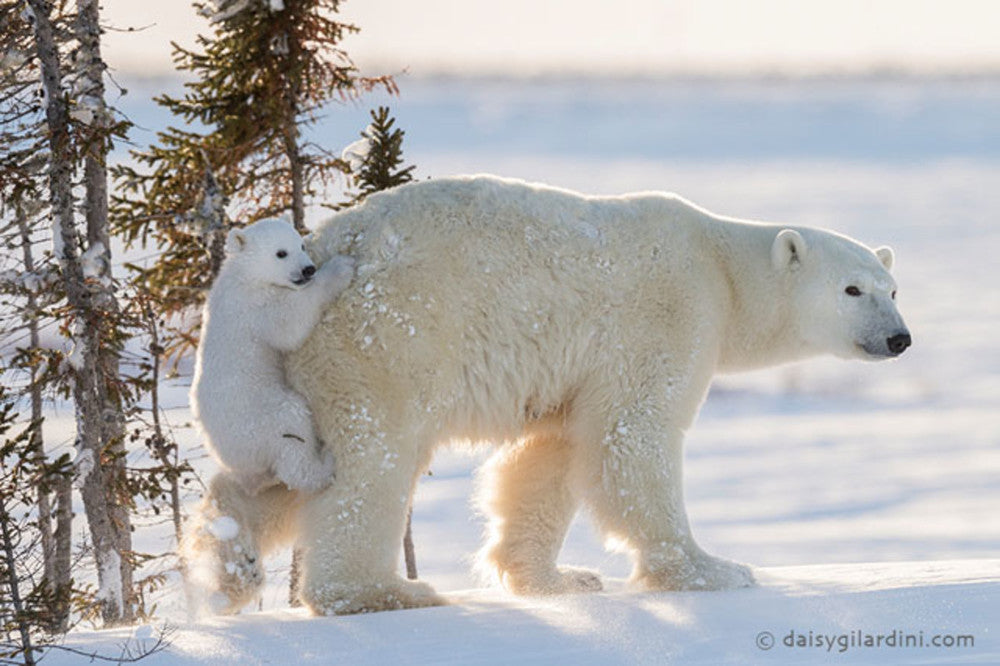 Can we save polar bears by moving them to Antarctica?