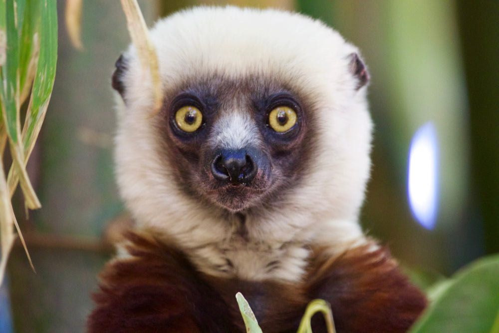 WORLD LEMUR DAY – FIVE SPECTACULAR SPECIES