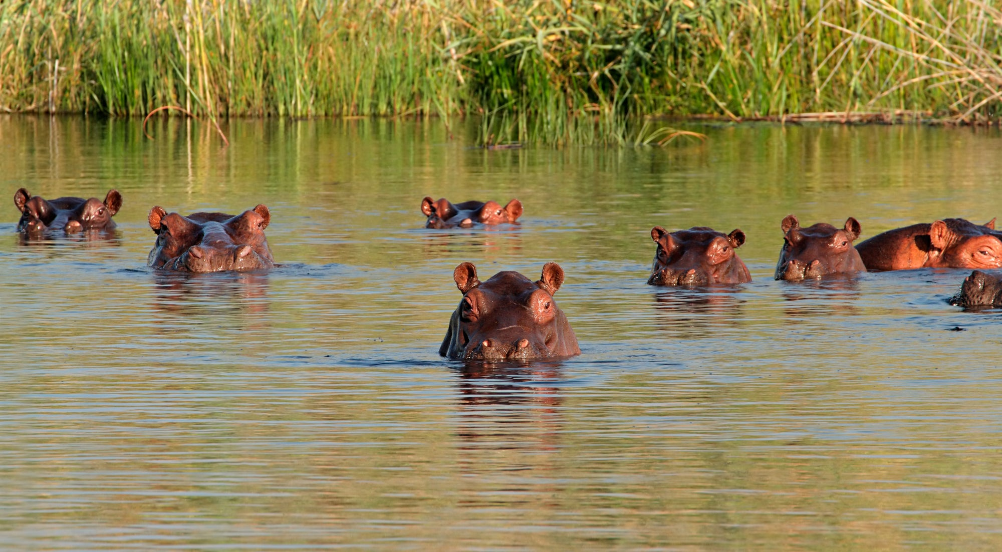 World Hippo Day: Five Top Facts