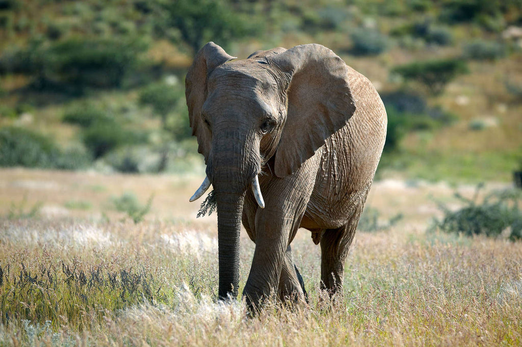african-forest-elephant