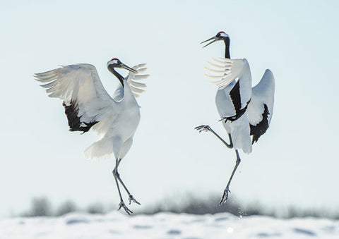 The God of the Marshes - The Red Crowned Crane - Eco Kids ... - photo#20