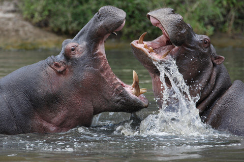 Two hippos in the water with their jaws open wide, revealing their impressive tusks