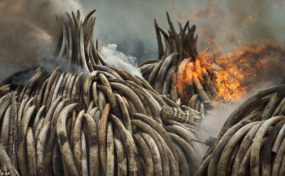 Kenya burns 105 tons of confiscated ivory in protest of elephant poaching. Kenya's Nairobi National Park, 2016