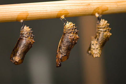 butterfly-pupa-in-dormant-stage