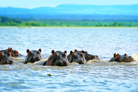 A family of hippos can be seen wallowing in the water, with their heads visible above the surface