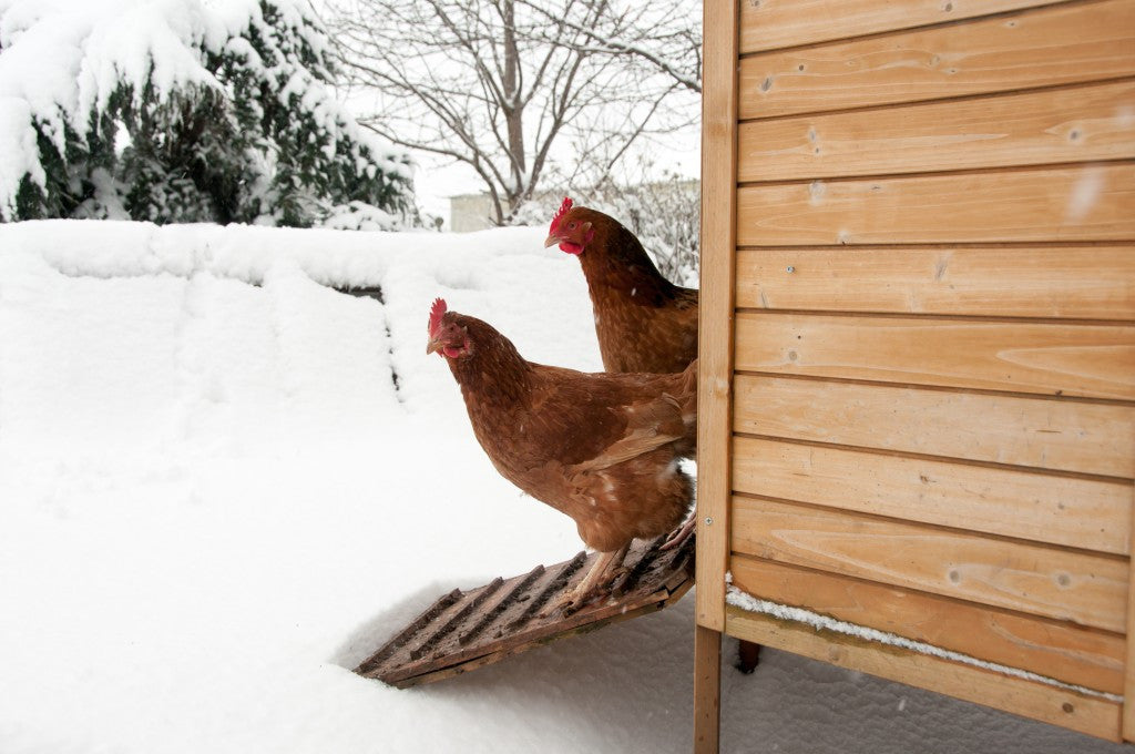 Wooden coop and a couple hens poking out, looking at the snow