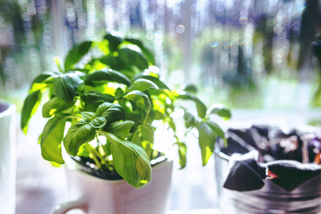 Basil plant in white mug pot near a window