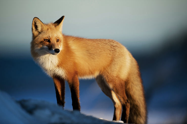 A red fox looking down from a snow covered mountainscape