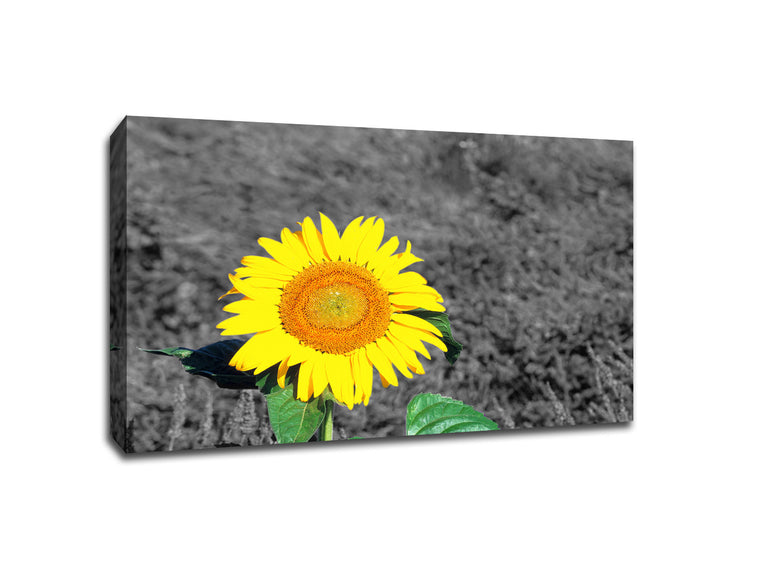 Sunflower Touch of Color Canvas