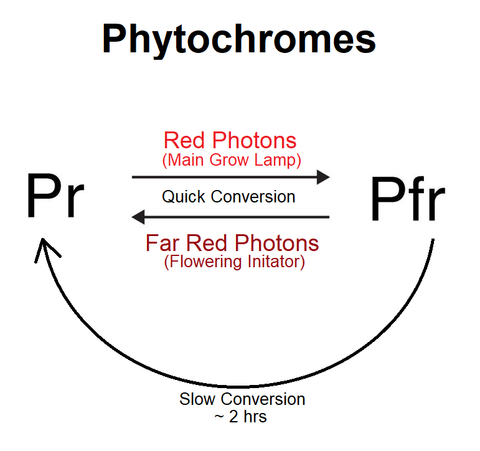Phytochrome state change