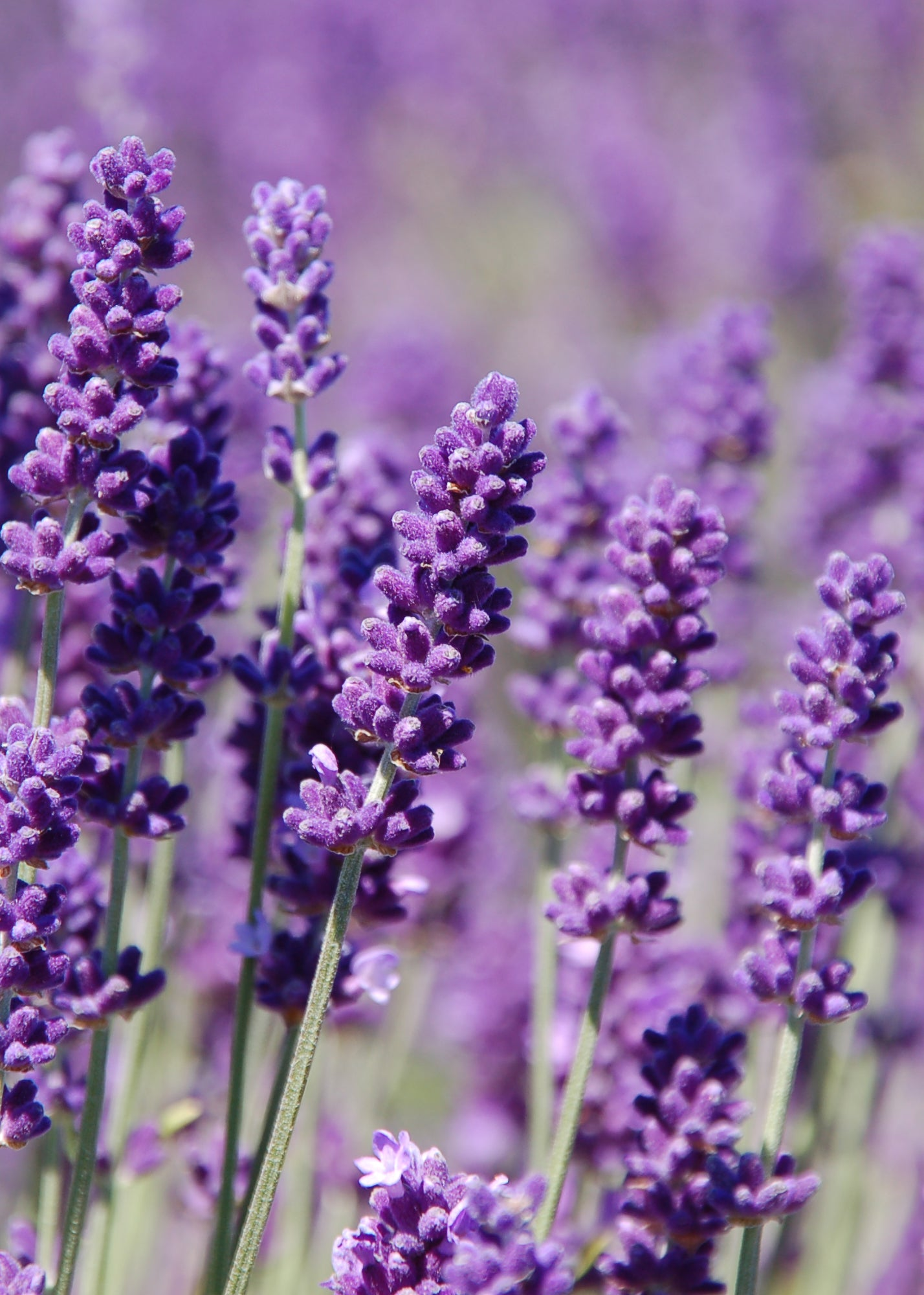 lavender luxury diffusers