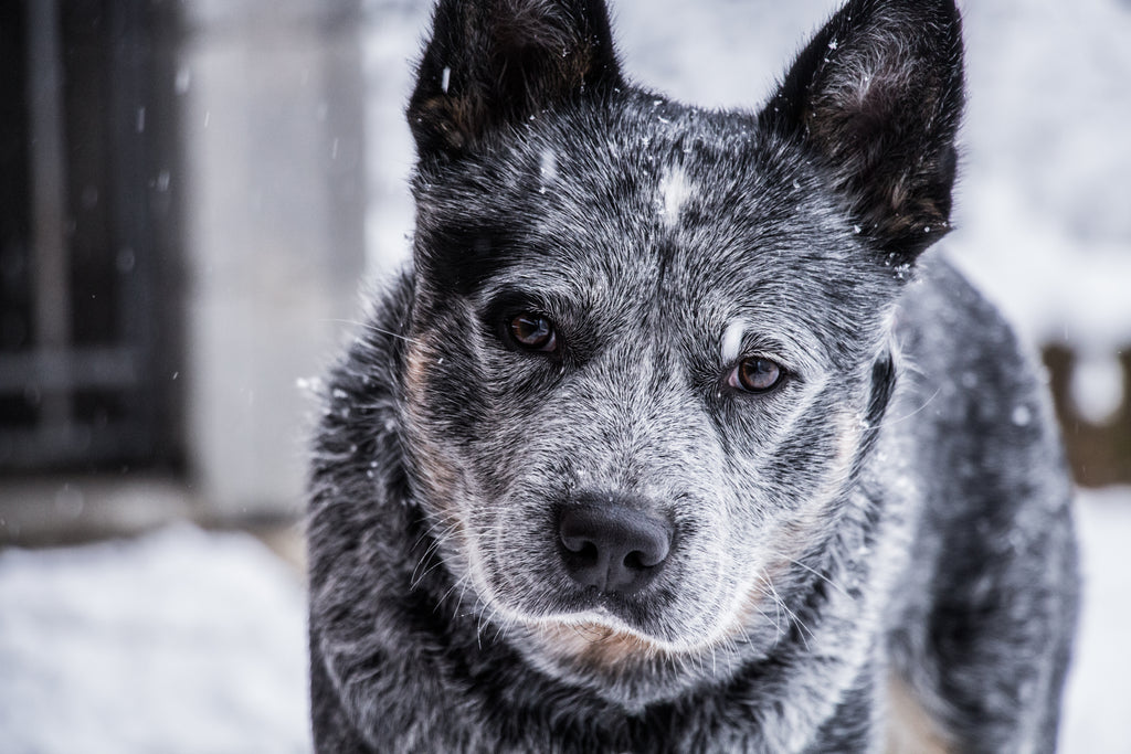 4 Reasons to Adopt a Senior Shelter Dog