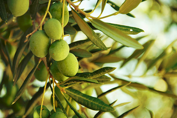 olive-oil-green-olives-on-tree-organic
