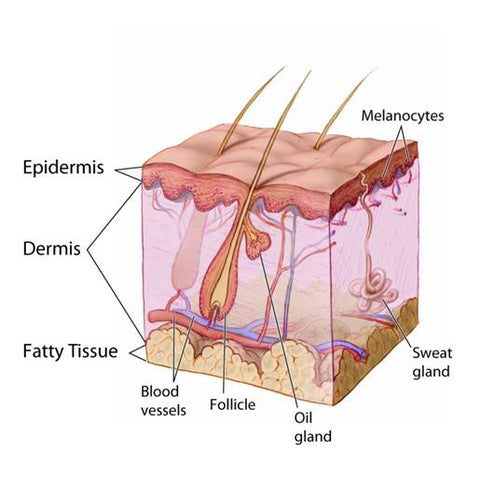 Anatomy of the Skin - Skin Absorption