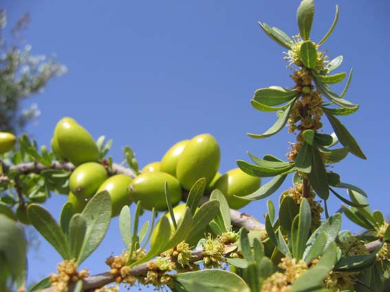 argan-fruit-on-tree-morocco