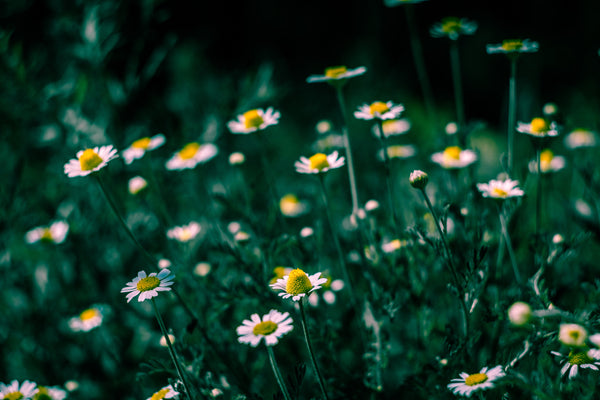 organic-chamomile-flowers-herbal-remedies
