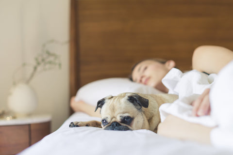 person sleeping with a cute pug puppy on a bed with sunlight in the room
