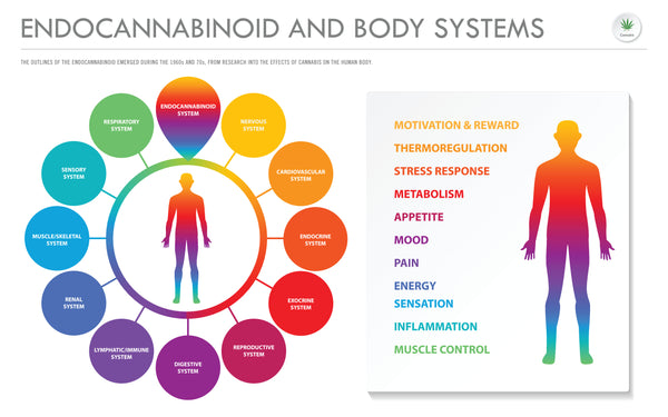 CBD and the human body