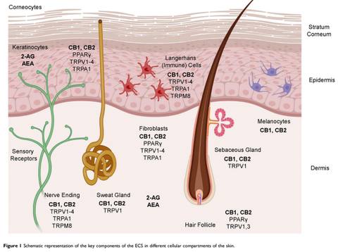 endocannabinoid system and the skin