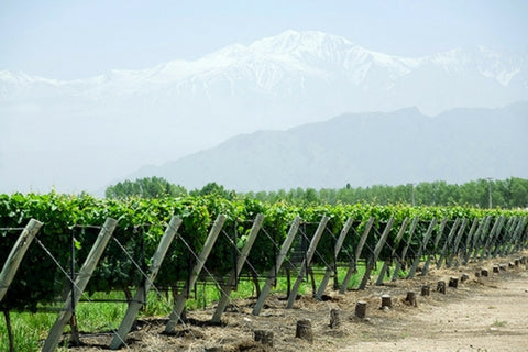 Argentinian vineyards