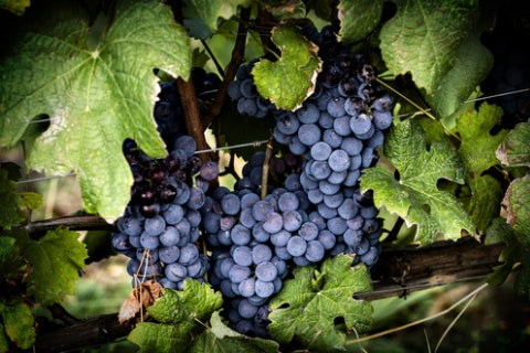 Nebbiolo - the grape used to make Barolo red wines in Piedmont, Italy