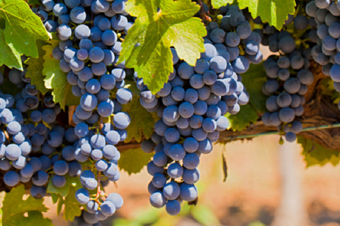 Eastern Spain wine grapes - Monastrell on the vine aka Mourvedre or Mataro - Valencia and Jumilla, Spain