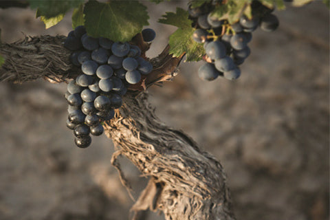 Malbec grapes - French red wine from Southern France - Cahors, Rhone, Languedoc - also Shiraz, Grenache, Mourvedre, Pinot Noir, Cabernet Sauvignon
