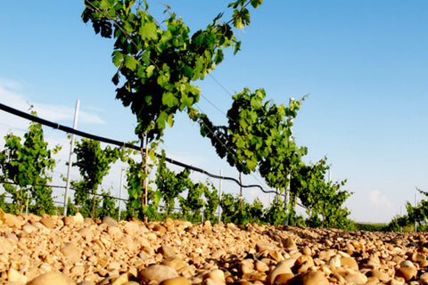 Rueda vineyard in Castilla Y Leon - Spain - Verdejo Spanish white wine