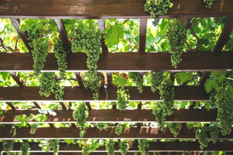 Albarino grapes on pergola - Rias Baixas, Galicia, western Spain - white wine - Godello and Verdejo as well
