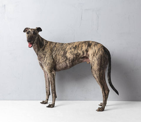 Greyhound1 - Alex Buckingham Photography