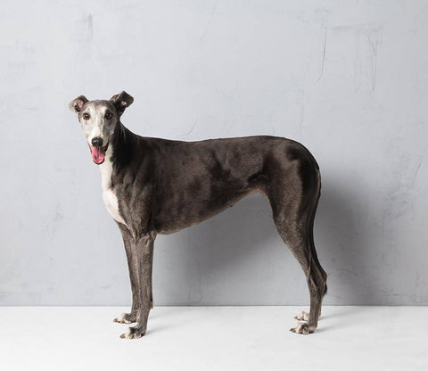 Greyhound2 - Alex Buckingham Photography