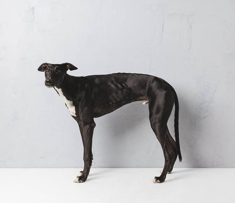 Greyhound4 - Alex Buckingham Photography