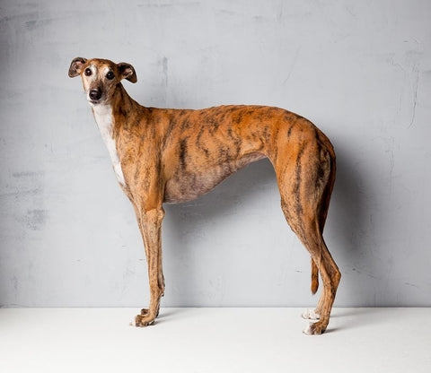 Greyhound6 - Alex Buckingham Photography