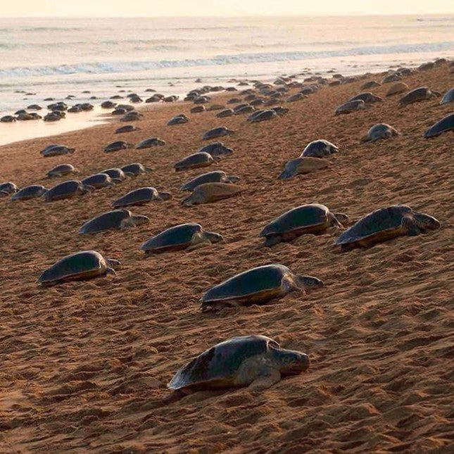 60 Million Sea Turtle Eggs Lay Undisturbed Due to Coronavirus Quarantine