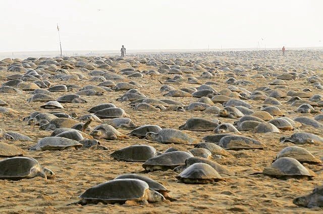 Millions of Green Sea Turtles Nesting on the Beach in India amid Corona Virus Quarantine