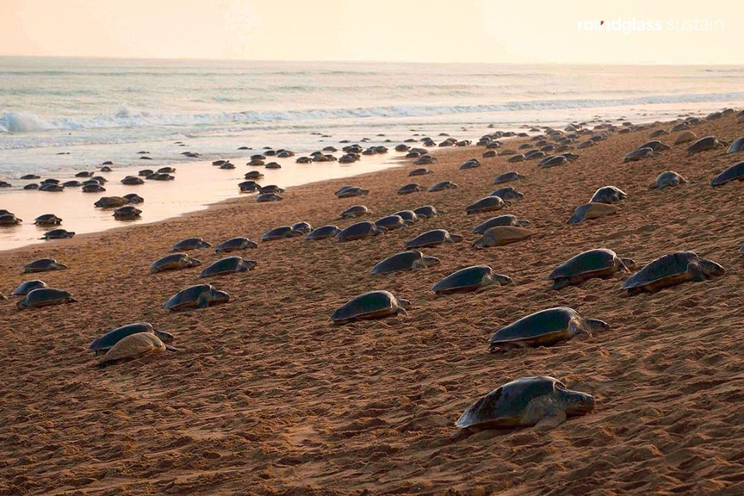 Sea Turtles Lay Eggs in India during Corona Virus Quarantine