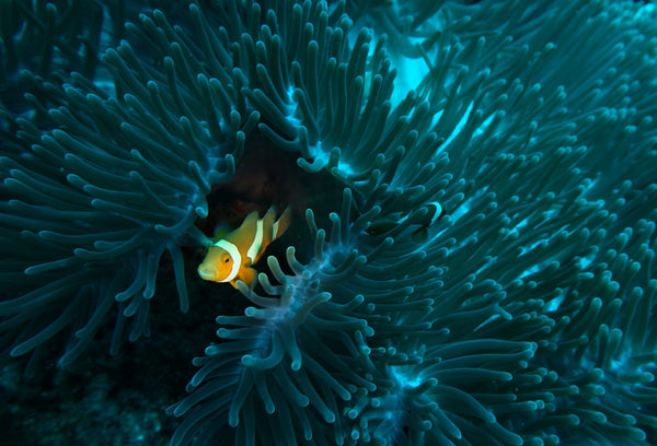A clown fish hides in it's home. PIYOGA helps with ocean conservation
