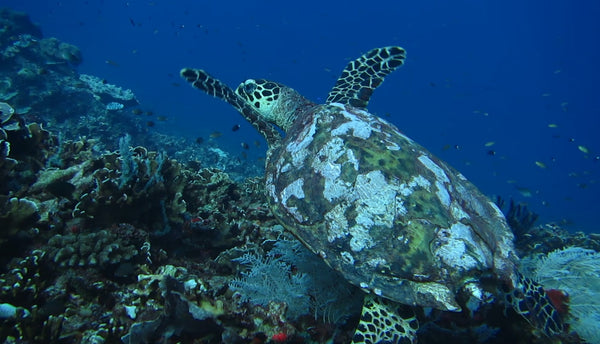PIYOGA sea turtle coral reef ocean conservation