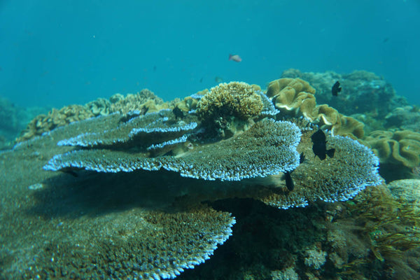 Bleached coral reef in Bali Indonesia Ocean Conservation efforts