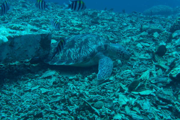 A sea turtle resting on a pile of destroyed coral reef in Bali Indonesia