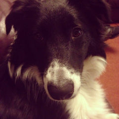Ollie Collie Border Collie Naughty Stories