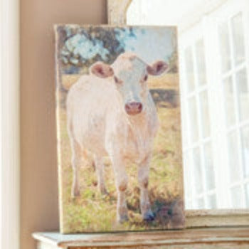 Charolais Cow Canvas Print