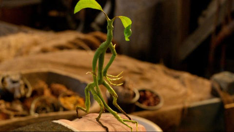 Bowtruckle Pickett Fantastic Beasts Grindelwald