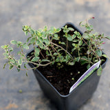 Thyme (two plants)