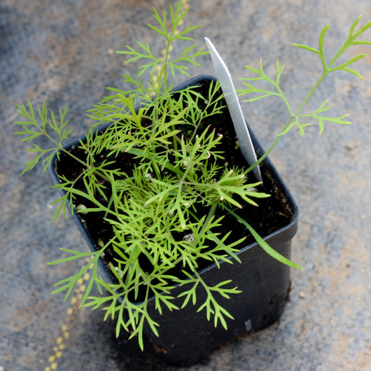 Dill (two plants)